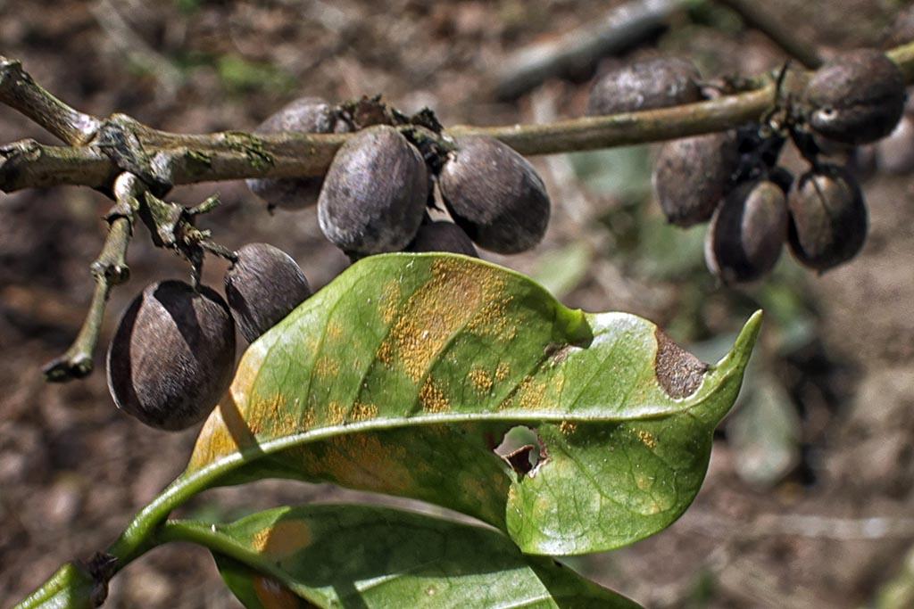 La mancha amarilla: la plaga del café en Guatemala | Periódico Diagonal