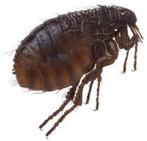 La pulga, el hermano más inquieto y menos colaborador.