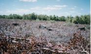 Destruccion de manglares por camaroneros